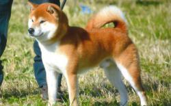 柴犬(Shiba)的历史、种类、DNA和名字由来