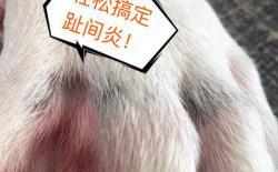 柴犬不能正常走路一瘸一拐的怎么办?趾间炎的治疗与预防