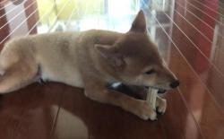 柴犬可以啃骨头吗?什么骨头狗狗能吃什么不能吃?