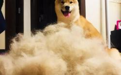 柴犬掉毛厉害吗?掉毛的原因和解决办法