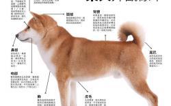 柴犬的外观标准和理想体态