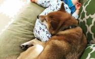柴犬是小孩子最好的陪伴,超温馨画面来袭!