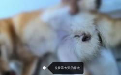 柴犬配种、孕期和产后护理及幼犬饲养手册
