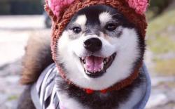 如何让小柴犬喜欢并快速记住给它取的名字?