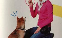如何训练柴犬与主人的眼神交流和对视?