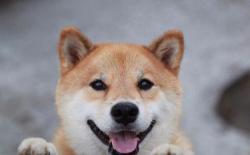 听说你想养一只小柴犬?帮你算算要花费多少钱