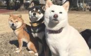 如何挑选柴犬幼犬,不同毛色的价格有差别吗?
