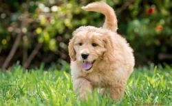 养大型犬好还是小型犬好?大狗安静小狗活泼