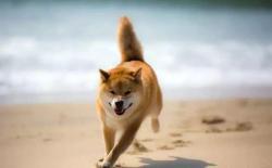 柴犬尾巴的种类和类型示意图解