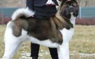 日本秋田犬有个美国兄弟,都是秋田犬,美国秋田犬却差点不被承认