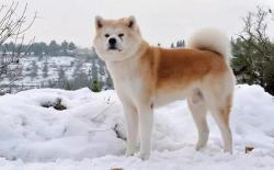 如何分辨秋田犬是否纯种&秋田犬血统浅谈