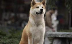 日本秋田犬的性格特点如何?