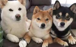 柴犬有几种颜色及毛色分类