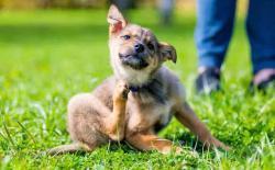 狗狗身上得了跳蚤怎么彻底去除?