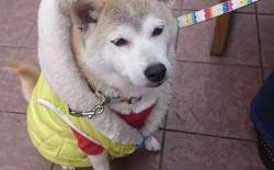 狗狗的正常体温是多少度?狗狗发烧怎么办?