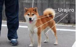 纯种柴犬的鉴定方法之:毛色篇