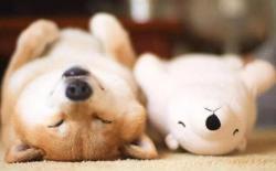 为什么柴犬适合城市养?盘点养柴犬的五大理由