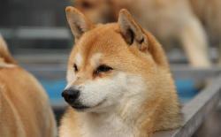 """秋天换季柴犬的皮肤病总是反复?主人才是真正的""""元凶""""!"""