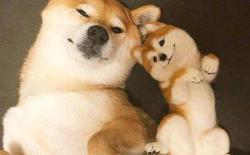 狗狗乳腺炎会自愈吗?柴犬乳腺炎的原因、症状、护理治疗和预防