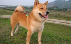 柴犬每天要遛几次?遛狗一次多长时间?
