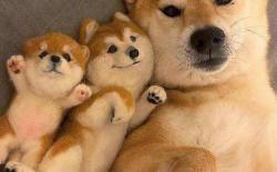 柴犬作为一只网红犬种到底有什么优点,为何如此受追捧?