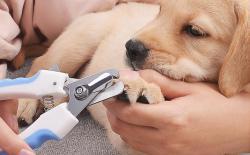 柴豆豆教你如何给柴犬剪指甲