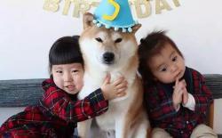 家里有小孩能养柴犬吗?养狗对孩子的这些好处你一定不知道