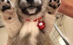 柴犬的一生:出生15天的幼犬