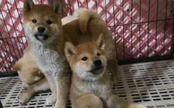 柴犬的一生:3个月的幼犬特征综述