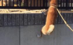 柴犬出了门就不听话到处乱跑怎么办?