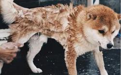 狗狗打疫苗前可以洗澡吗?打完疫苗多久可以洗澡