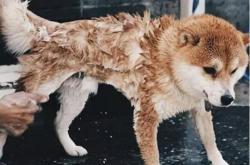 狗狗打疫苗前可以洗澡吗?狗狗打完疫苗多久可以洗澡