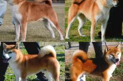 柴犬9种常见尾巴类型,直尾卷尾差尾都是什么意思