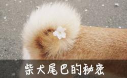 小柴犬多大尾巴才变粗,尾巴多大能散开?