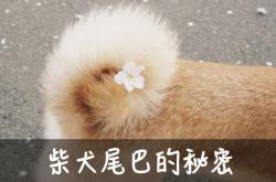 小柴犬多大尾巴才变粗,柴犬尾巴多大能散开?