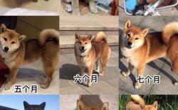 柴犬尾巴上的黑毛多久能褪掉?幼犬尾巴有黑毛好吗?