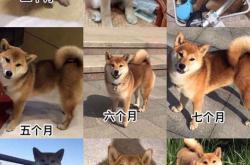 柴犬尾巴上的黑毛多久能褪掉?柴犬幼犬尾巴有黑毛好吗?