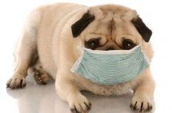 犬窝咳能自愈吗?犬窝咳的早中晚期症状+分辨+治疗