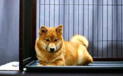 柴犬小时候都是黑嘴吗,什么时候能褪掉?