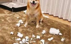 柴犬精力太旺盛,在家老爱搞破坏拆家咬东西怎么办?
