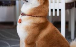 日本柴犬体味大吗,体味重怎么去除?