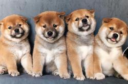 柴犬品相如何鉴别,怎么挑选出价格适中的幼犬?