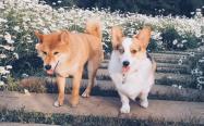 柴犬和柯基犬的区别,哪个贵,哪个聪明又好养?