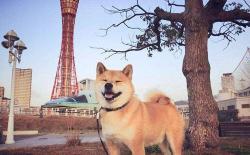 【长文】正宗日本柴犬的标准、价格和购买渠道分享