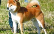 柴犬双血统是什么意思,怎么看,重要吗?