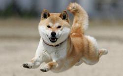 柴犬人来疯,越叫狗儿冷静反而越激动怎么办?