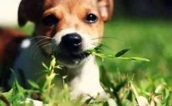 柴犬吃草是为什么?狗狗吃草呕吐的原因