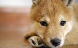 柴犬能吃骨头吗,吃骨头能磨掉牙结石吗?
