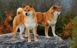 柴犬的两种脸型,貉脸(狸猫脸)和狐脸(狐狸脸)图片对比