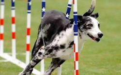 狗狗运动能力及体格的锻炼简介